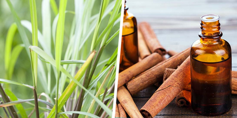 Citronella and Cinnamon Oil
